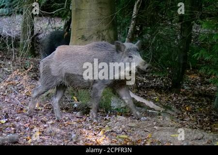 Un sanglier dans la forêt de Dean, près de Parkend, Gloucestershire. La population de sangliers de la forêt est la plus importante d'Angleterre. Photo d'Andrew Higgins