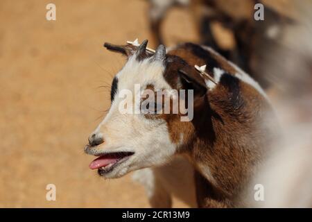 Joli bébé de chèvre bleu dans le parc du zoo. La pygmée américaine est une race américaine de chèvre achondroplasique, également connue sous le nom de Pygmy ou Pygmy africaine.