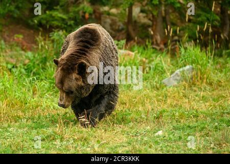 Ours grizzli (Ursus arctos horribilis) marche dans les bois le long de la rivière à la recherche de Frayer du saumon dans la côte de la Colombie-Britannique à Bella Cool Banque D'Images