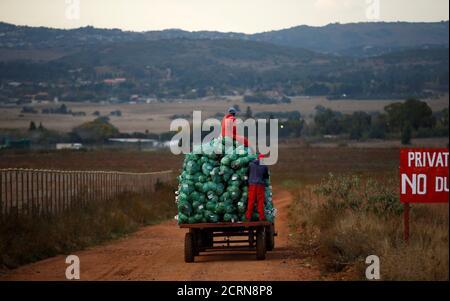 Les ouvriers agricoles récoltent des choux dans une ferme d'Eikenhof, près de Johannesburg, en Afrique du Sud, le 21 mai 2018. REUTERS/Siphiwe Sibeko