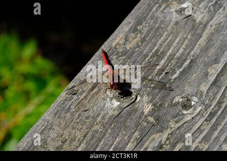 Automne meadowhawk (Sympetrum vicinum), libellule mâle sur un pont en bois à Val-des-Monts, Québec, Canada.
