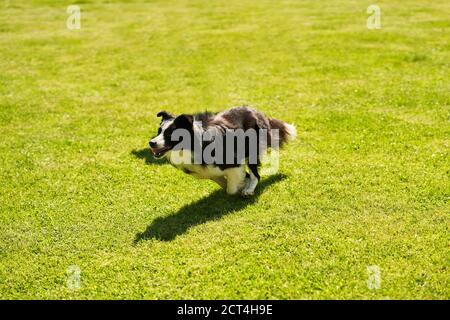 Border collie, chien courant sur un terrain d'agilité Banque D'Images