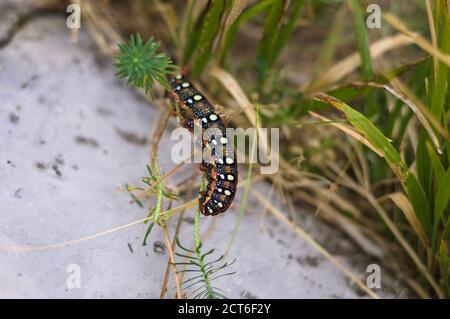 Une chenille noire et rouge avec des points blancs sur le dos mange une feuille (Marche, Italie, Europe)