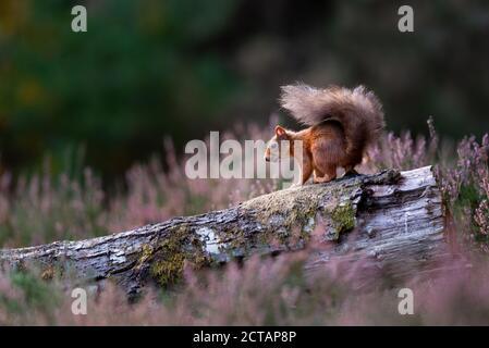 Écureuil roux (Sciurus vulgaris) en bruyère