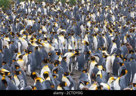 Pingouin royal (Aptenodytes patagonicus halli), colonie sur l'île Macquarie, nombreux pingouins reproducteurs debout ensemble, Australie, Tasmanie, Macquarie