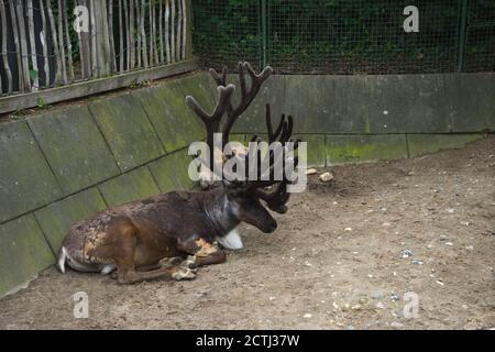 Renne mâle brun avec de gros bois avec un autre mensonge dans l'enceinte ou pinfold en été