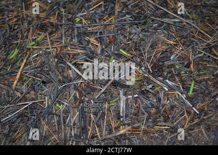Fourmis de forêt rouge formica rufa en anthill macro photo, grand anthill gros plan.