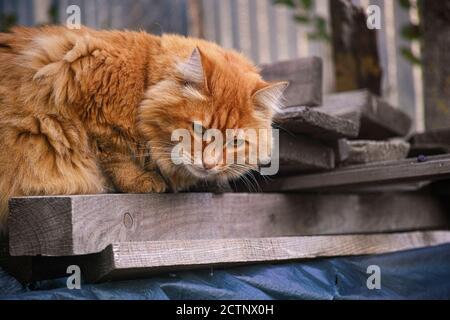 Chat erré rouge couché sur de vieilles planches. Gros plan.