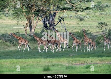 Girafes réticulés (Giraffa camelopardalis reticulata)