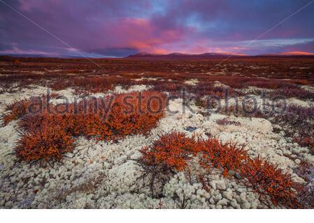 Matin du début de l'automne à la réserve naturelle de Fokstumyra, Dovre, Norvège. Les arbustes orange au premier plan sont le bouleau nain, Betula nana. Banque D'Images