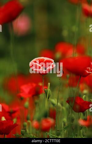 Une fleur de pavot isolée avec un magnifique arrière-plan flou