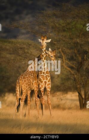 Deux girafes réticulés (Giraffa camelopardalis reticulata), Kenya