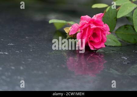 Rose sur voiture humide. Réflexions et gouttes d'eau sur le toit de la voiture grise le jour pluvieux de septembre. Banque D'Images