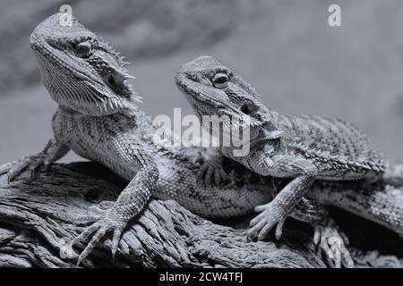 deux dragons barbus assis ensemble dans leur terrarium, noir et blanc Banque D'Images