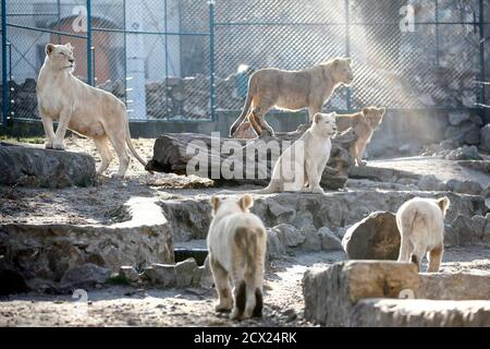 Seven-month-old lion cubs gather around an adult white lioness in their enclosure in Belgrade's Zoo December 21, 2011. The four white lions cubs, an extremely rare subspecies of the African lion, have become the zoo's greatest attraction. Another four white lion cubs were born in April earlier this year. REUTERS/Ivan Milutinovic  (SERBIA - Tags: SOCIETY ANIMALS)
