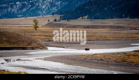 Lone Bison faisant le trek dans la vallée de Lamar à Parc national de Yellowstone