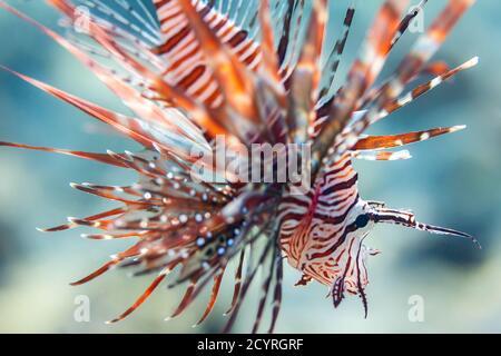 Gros plan de lionfish rouge en mer Rouge, Charm Cheikh, Égypte Banque D'Images