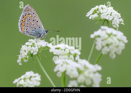 Le papillon bleu commun sur la fleur (Polyommatus icarus)