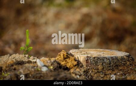Reboisement après coupe à blanc , petite plantation d'épinette d'Europe ( picea abies ) plantée sur un sol sablonneux à l'été, en Finlande Banque D'Images