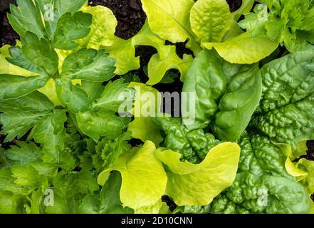 Gros plan du plantoir de légumes rempli de laitue, d'épinards et de céleri. Vue de dessus. Jardinage urbain dans les petits espaces.