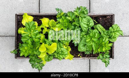 Jardinière de légumes remplie de laitue, d'épinards et de céleri. Vue de dessus du lit de jardin surélevé en utilisant la méthode de plantation d'interplantation ou d'interculture.