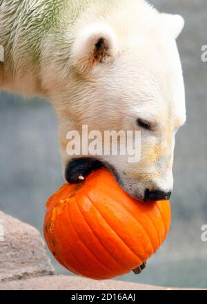 Hudson a-two-year-old polar bear, eats a pumpkin at the Brookfield Zoo in Brookfield, Illinois October 28, 2009. Zookeepers fed pumpkins to the zoo's lions, tigers, bears and gorillas, in honor of the upcoming October 31 Halloween holiday. REUTERS/John Gress (UNITED STATES ANIMALS)