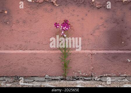 Petite fleur pourpre qui pousse d'une fissure dans le trottoir, contre un vieux mur rose