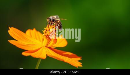 Cosmos jaune pollinisant les abeilles (Cosmos sulfureus) fleurez dans le jardin d'automne Banque D'Images