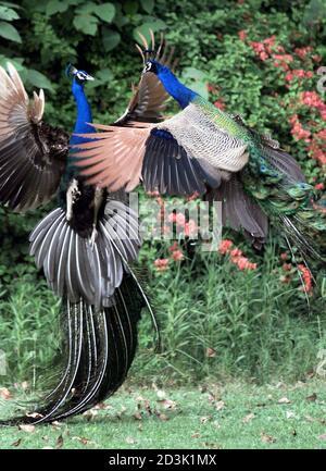 Deux paons se battent dans un parc de la capitale indienne New Delhi le 11 avril 2001. Le paon, désigné par le gouvernement comme l'oiseau national de l'Inde, est l'une des 1,288 espèces d'oiseaux qui vivent à travers le pays. PK/CP