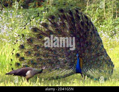 A peacock displays its colourful plummage to impress a nearby peahen in a park in New Delhi April 3, 2004. The Peacock, which is India's national bird, is part of the livestock of Indian parks and gardens. The hunting of peacocks is banned in India. REUTERS/Kamal Kishore  AH/SH