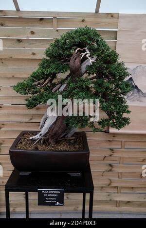 Walbrzych, Pologne - 18 juillet 2020 : l'arbre bonsaï, Taxus cuspidata (juif japonais), âgé de 350 ans. Style incliné