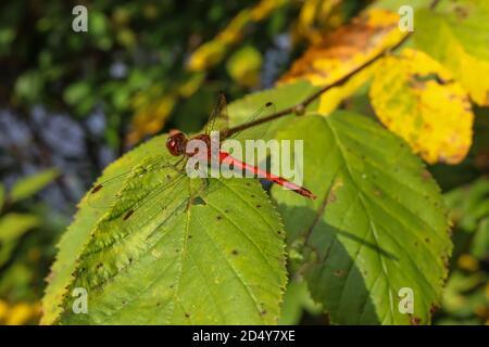 Un mâle à face blanche Meadowhawk (Sympetrum obtrusum) repose sur une plante du nord de la Pennsylvanie. Le mâle de cette espèce de libellule est rouge vif.