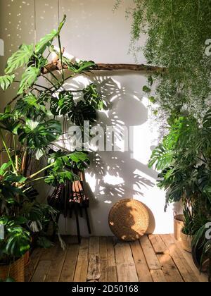 Vue sur la maison monstère dans le salon avec parquet. Plante intérieure éclairée par la lumière du soleil. Confortable maison jardin