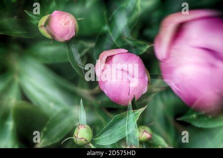 Bourgeons de pivoine rose sur fond de feuilles vertes. Arrière-plan flou. Carte postale naturelle abstraite ou photo pour papier peint.