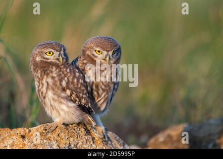 Deux Little Owl Athene noctua, se dresse sur un rocher. Portrait gros plan.