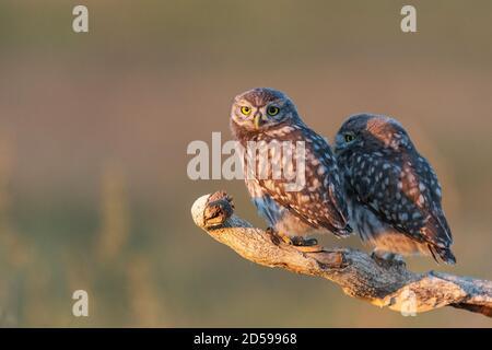 Deux Little Owl Athene noctua, un jeune hibou est assis sur un bâton dans une belle lumière.
