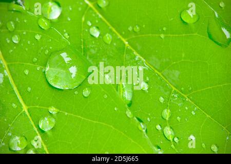 Gros plan la rosée tombe sur les feuilles dans le soleil du matin et l'environnement vert. Les gouttelettes d'eau proviennent de la pluie sur les feuilles. Le concept de beauté et Banque D'Images