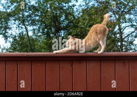 Chat au gingembre s'étendant sur une grande clôture en bois à l'extérieur