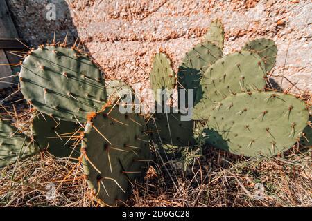 Poire pirickly cactus sauvage d'opuncia croissant dans une colline rocheuse. Vieux cactus. Photos sur le thème de l'été et du printemps. Cactus du désert.
