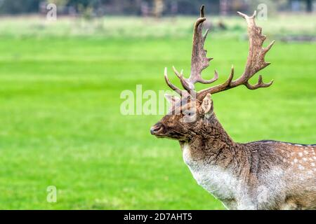 Un buck de cerf en jachère, Dama dama, à Holkham, dans le nord de Norfolk.