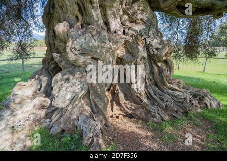L'olivier laïque sa Reina (en sarde 'la reine'), qui a une tige d'une circonférence de 16 mètres et qui est situé dans le parc de 'S'
