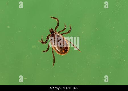 Tick de chien brun, tick de chenil (Rhipicephalus sanguineus), devant un fond vert, Allemagne, Bavière