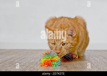 Chat au gingembre mignon qui a l'air curieux d'un ballon jouet.
