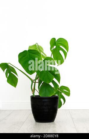 plante de maison de monstera dans intérieur blanc.