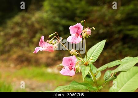 La fleur rose de l'Himalaya Balsam (Impatiens glandulifera) dans la forêt