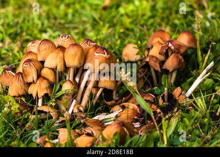 Gros plan de champignons sauvages poussant dans le jardin isolé.