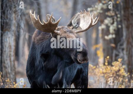Grand élan de taureau dans les bois dans Grand Teton National Stationnement
