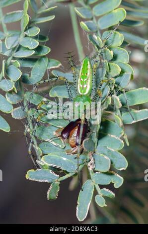 Araignée de lynx verte (Peucetia viridans) se nourrissant de proies