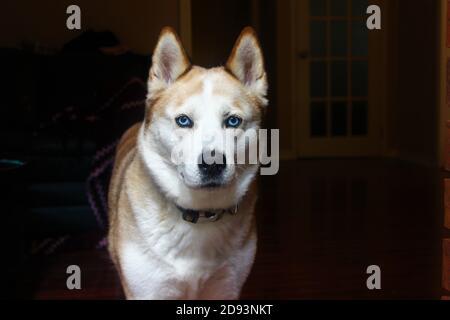 Gros plan d'un magnifique husky rouge et blanc, avec des yeux bleus. Banque D'Images