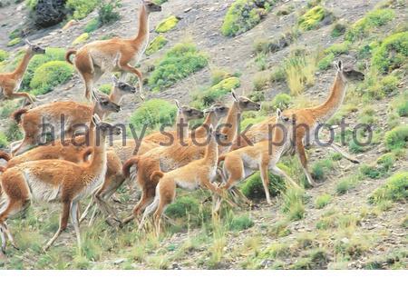 Groupe de guanacos (Lama guanicoe) à pied, parc national Torres del Paine, Chili, Amérique du Sud
